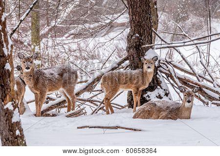 Winter Whitetail Deer