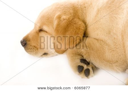 Sleepy Puppy Labrador Retriever Cream