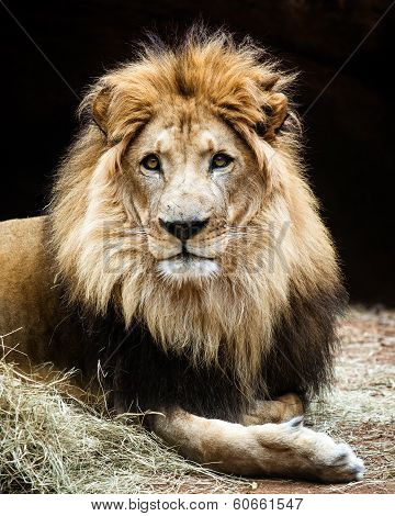 Portrait of make African lion