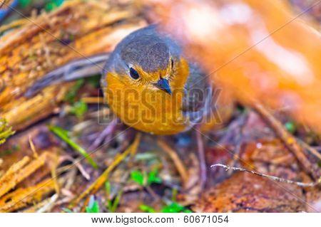 Robin (erithacus Rubecola)
