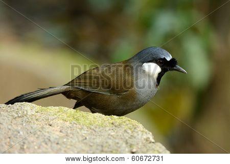 Black-throated Laughing thrush