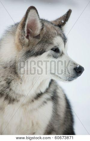 Dog ??husky Looks Off To The Side