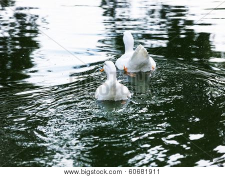 two white ducks in a pond