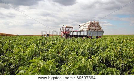 Field Workers In A Pepper Field