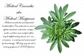stock photo of marijuana plant  - A Genuine Medical Marijuana Plant - JPG