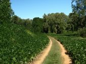 stock photo of kudzu  - A kudzu covered road in rural North Carolina - JPG