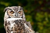 pic of angry bird  - A beautiful old rehabilitated Great Horned Owl - JPG