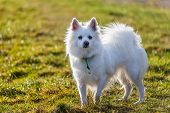 picture of pomeranian  - White Pomeranian dog standing on grass field - JPG