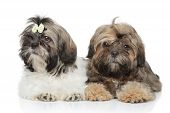 stock photo of dog breed shih-tzu  - Shih tzu puppies together posing on a white background - JPG