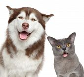 stock photo of baby cat  - Happy Husky dog and grey Burma cat isolated on white background - JPG