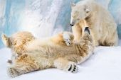 picture of polar bears  - Couple of young polar bears taking care of each other - JPG