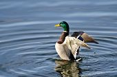 picture of male mallard  - A Male Mallard Duck Stretching Its Wings