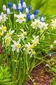 stock photo of narcissi  - Dwarf narcissi  Jack Snipes is an extra early variety of narcissus - JPG