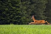 stock photo of buck  - Buck deer on the run - JPG