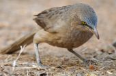 picture of babbler  - Large Grey Babbler Turdoides malcolmi feeding on ground - JPG