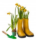 pic of boot camp  - Yellow daffodils garden shovel and rubber boots isolated on white background - JPG
