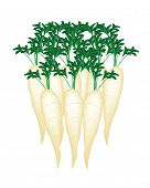 stock photo of radish  - Vector Illustration of Fresh White Radishes Chinese Radish Japanese Radish Oriental Radish or Daikon Radishes Isolated on White Background - JPG