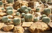 stock photo of cactus  - golden barrel cactus golden ball cactus or echinocactus grusonii - JPG
