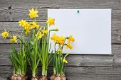 stock photo of germination  - Message and spring daffodils against wooden background - JPG