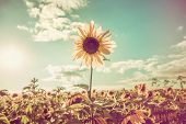stock photo of sunflower-seed  - One sunflower rising above the rest - JPG