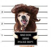 stock photo of wig  - a mugshot of a cute chihuahua with a wig on - JPG