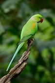 stock photo of parakeet  - beautiful male Alexandrine Parakeet  - JPG