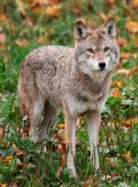 stock photo of quadruped  - On a fall day a coyote is looking at the camera from the field - JPG