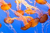 stock photo of aquatic animal  - Vibrant Orange Black Sea Nettle Jellyfish in Sea - JPG