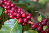 stock photo of coffee crop  - Coffee beans ripening on tree in North of thailand - JPG