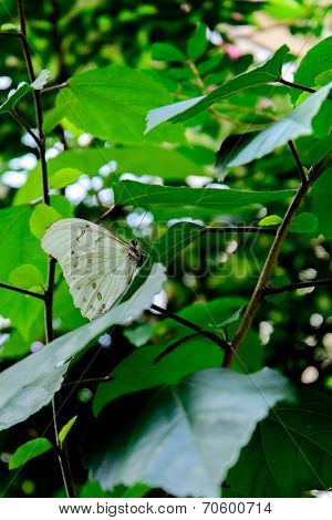 Grey Pansy Butterfly In Nature