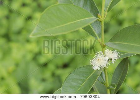Yellow strawberry guava flower