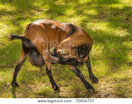 Brown Goat With Itch