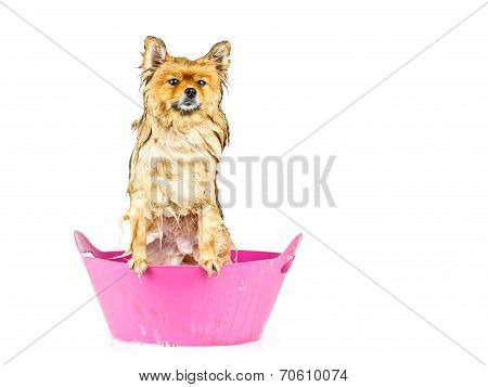 Pomeranian Dog Taking A Bath Standing In Pink Bathtub Isolated On White Background