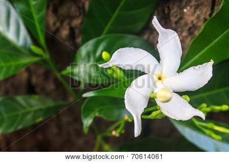 White Sampaguita Jasmine Or Arabian Jasmine