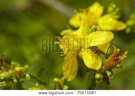 Flora - Klamath Weed (hypericum Perforatum)