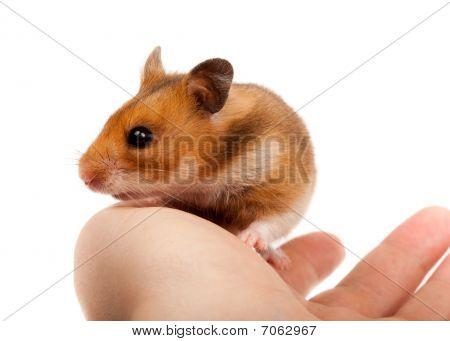 Golden, Or Syrian Hamster, Goldhamster (mesocricetus Auratus)
