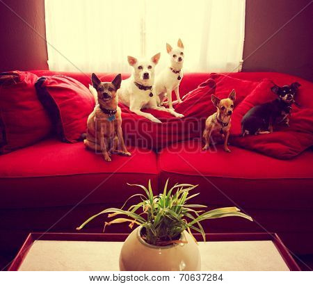 a group of chihuahua dogs sitting on a couch in a living room toned with a retro vintage instagram filter effect