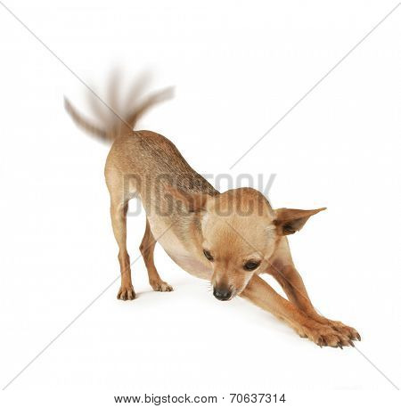 a tiny chihuahua stretching on a white background