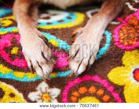 cute chihuahua paws on a paisley blanket