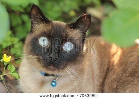 apple head Siamese cat staring widely