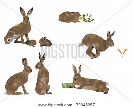 Life of hare