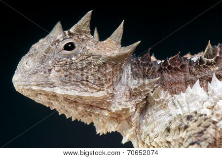 Giant horned lizard / Phrynosoma asio