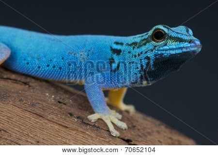 Blue day gecko / Lygodactylus williamsi