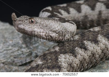 Horned viper / Vipera ammodytes