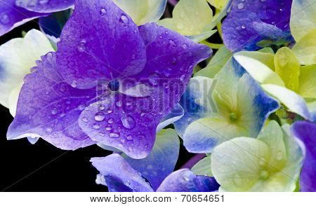 Hyndrangea Hortensia Flower with water drops top view close up on black background