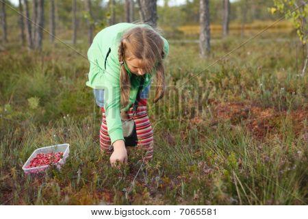 Little Girl Harvesting Wild Cranberries