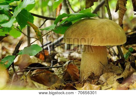 Boletus Edulis, Commonly Known As The Porcini As Well As Penny Bun, Porcino Or Cep