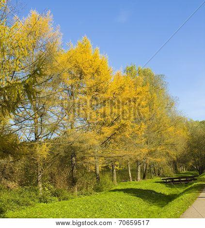 Autumn Larches