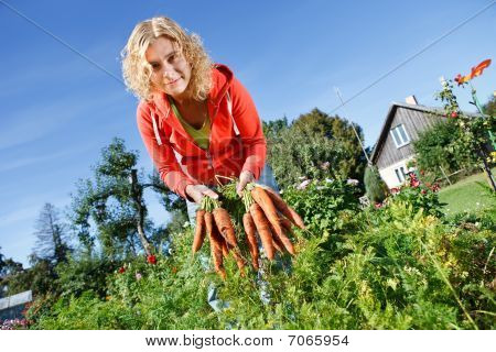 Picking Organic Carrots