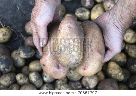 large fresh potatoes in farmer's hands